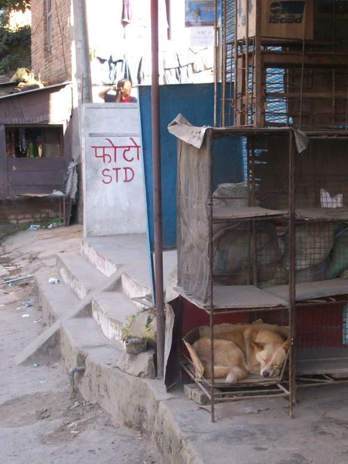 Sleeping dog in Nepal