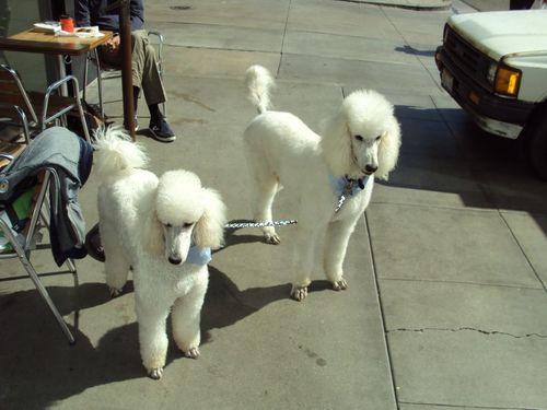Whitepoodles