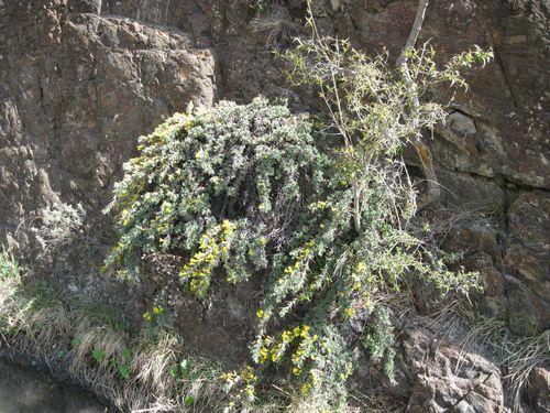 Astragalus candolleanus