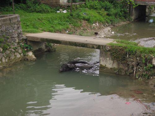 Water Buffalo in Nepal
