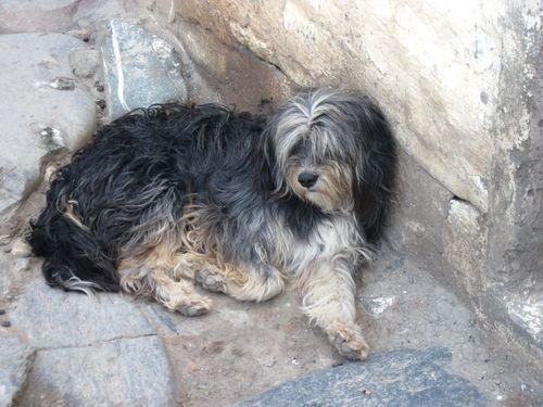 Tibetan Terriers4