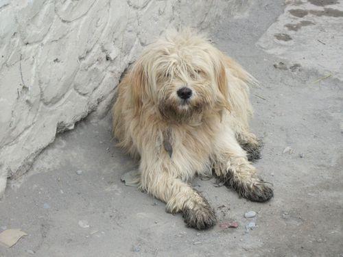 Tibetan Terriers9