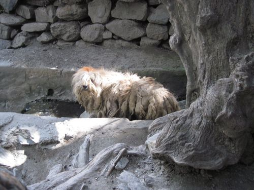 Tibetan Terriers7