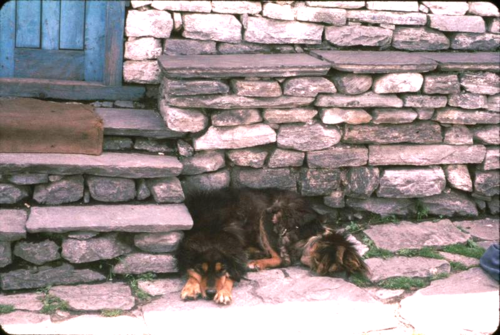 Tibetan dog in Mustang