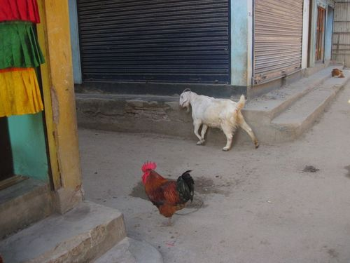 Roosters, goats and dogs in Boudha
