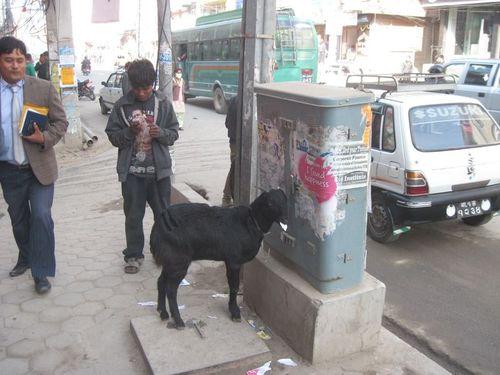 Goat on the streets of Kathmandu