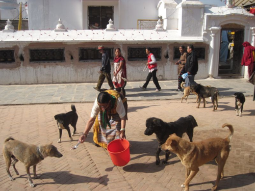 Street dogs fed around Boudha