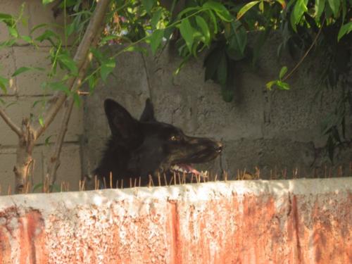 Black dog in Pokhara