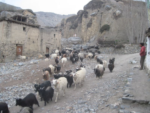 Goats return home from pasture in Mustang