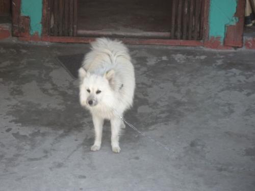 Spitz dog in Pokhara