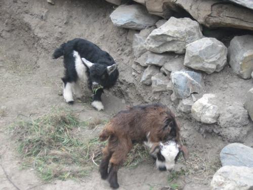 Goat kids of Mustsang