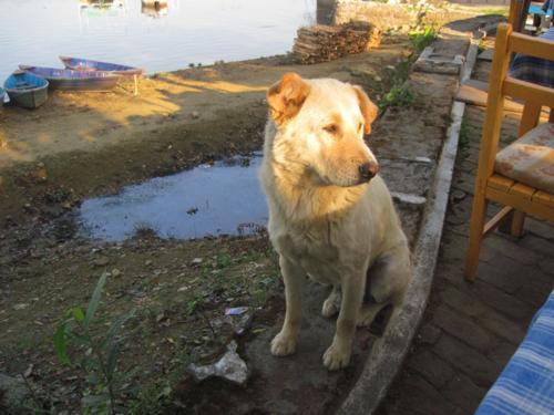 Pokhara street dog