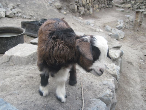 Young goat kid in Jhong, Mustang