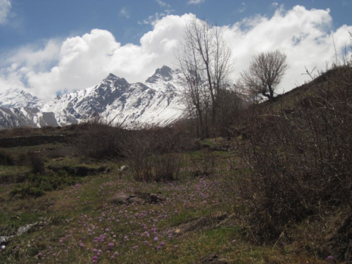 Field of Himalayan Primroses in Mustang, Nepal