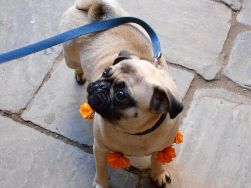 Pug with Garlands on  Nepal's Day of the Dog
