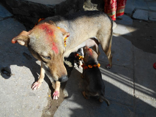 Puppies suckle on Nepal's day of the dog