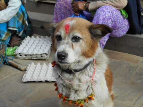 images for Nepal's Day of the Dog