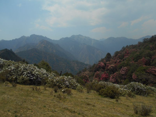 Jajala Pass with Lali Gurans (Rhododendron)