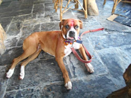 Nepali boxer dog