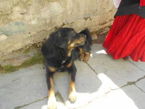 Nepali dog in Marpha,Mustang District, Nepal