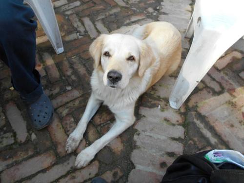 Labrador Retreiver in Nepal