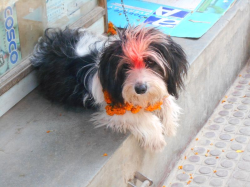 Tibetan Terrier on Nepal's Day of the Dog