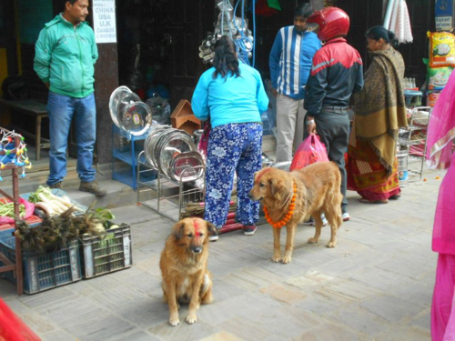 Retrievers on kukur tihar in Nepal