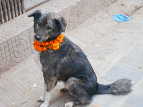Nepali dog on Day of the Dog, Kukur Tihar