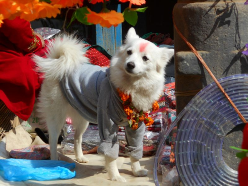 Spitz at Nepal's Day of the Dog