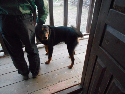 Typical Nepali dog in Dhorpatan