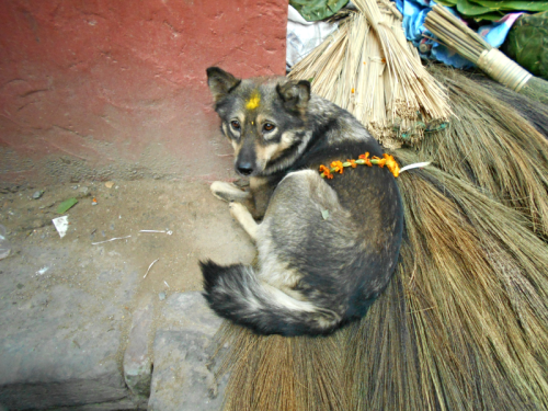 Nepali street dog on Nepal's Day of the Dog