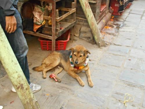 Nepal's Day of the Dog in Kathmandu