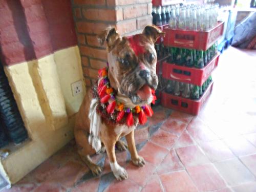 Taxadermied Boxer Dog