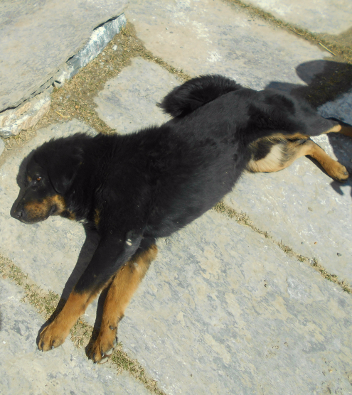 Nepali dog stretches in the sun.
