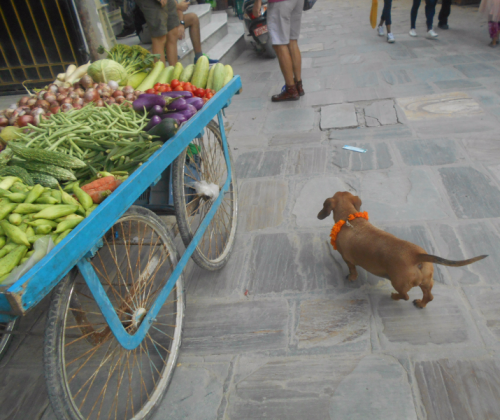 A Dachshund on the streets of Boudha on the Day of the Dog