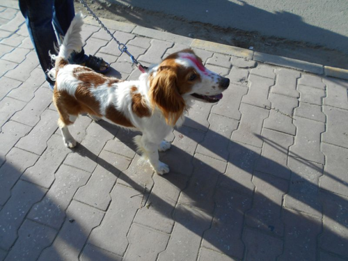 Spaniel puppy on the Day of the Dog in Kathmandu