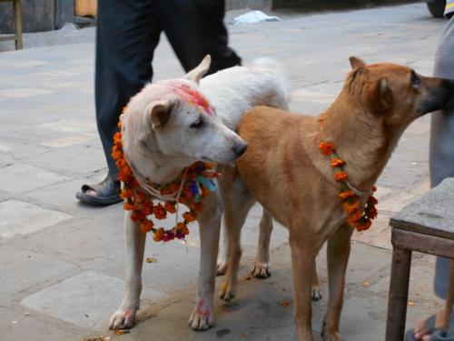 Butcher shop dogs on the streets of Kathmandu