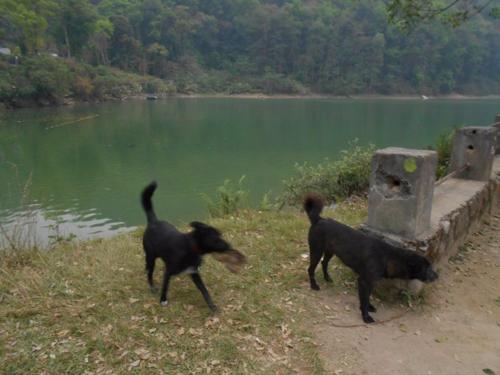 Dogs play near Lake Fewa in Nepal