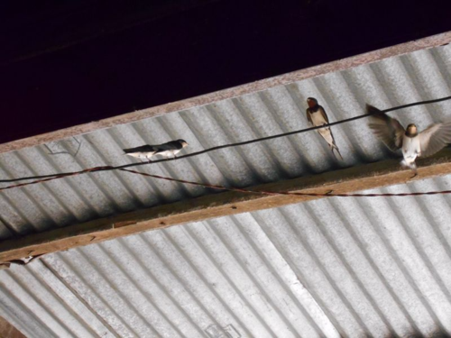 Gautali birds in Nepal (Swallows)