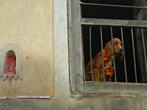 Nepal's day of the dog celebrated in Kathmandu