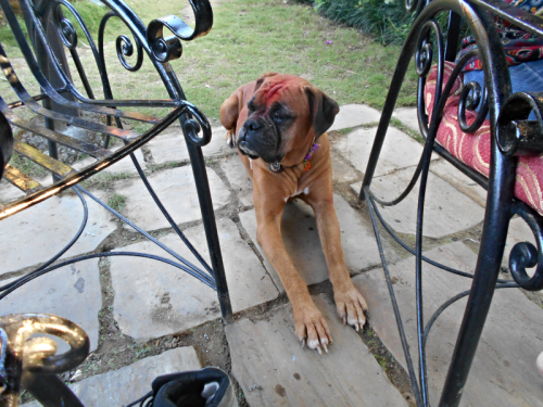 Boxer Dog in Nepal