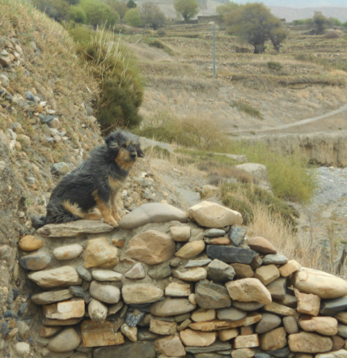 Nepali dog on a stone fence in Upper Mustang