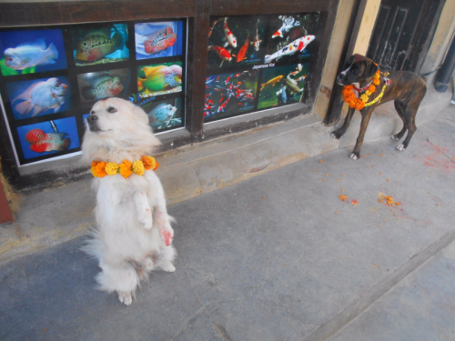 A Spitz and a Boxer on Nepal's Day of the Dog