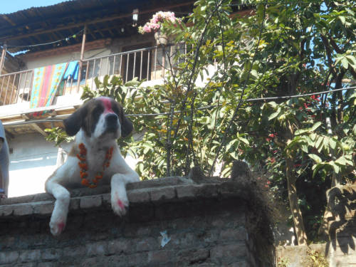 A Nepali St. Bernard on Nepal's Day of the Dog