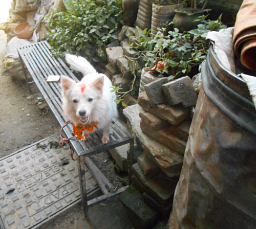A young Spitz dog on Nepal's Day of the Dog