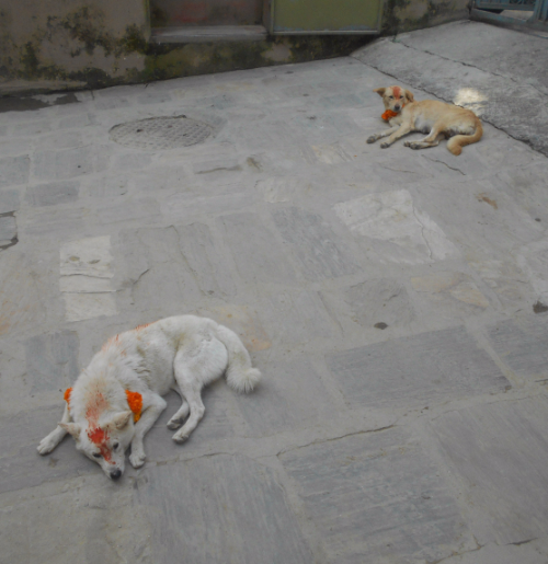 Street dogs enjoy Nepal's Day of the Dog