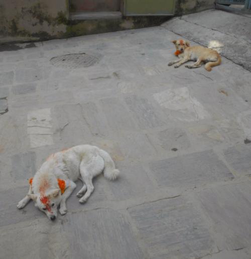 Street dogs enjoy Nepal's Day of the Dog