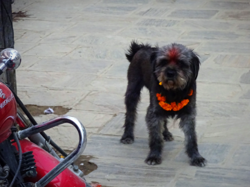 Nepali dog with marigold malla and tika on Nepal's Day of the Dog