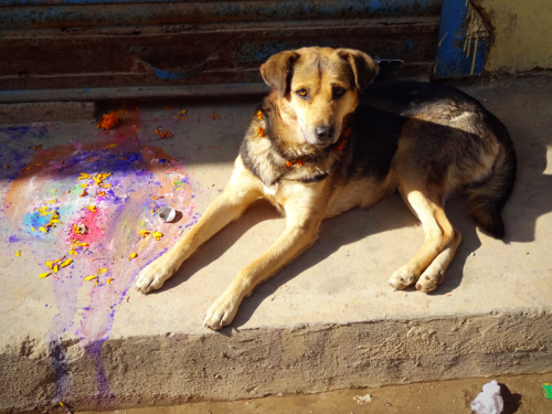 Nepalese dog on the Day of the Dog in Nepal