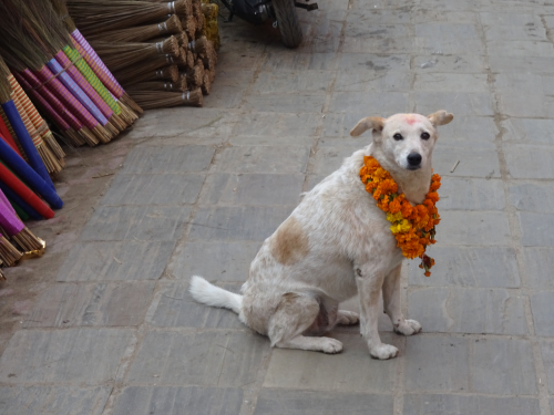 Nepali dog with marigold malls around his neck on Nepal's Day of the Dog, Kukur Tihar